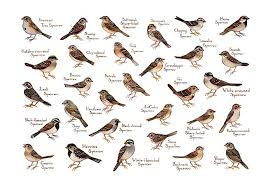 Sparrows Birds Of North America Field Guide Art Print