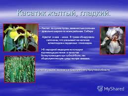 Презентация на тему Красная книга это крик растений и  6 Касатик желтый