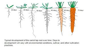carrot plant stages. Fine Stages To Carrot Plant Stages World Museum
