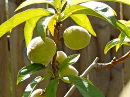 Kino Heritage Fruit Trees ProjectSouthern California Fruit Trees