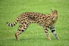 The police are looking for a serval who escaped from a house in Sitges