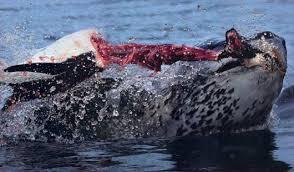 emperor penguin predators and prey. Brilliant Emperor Shredding Penguin For Emperor Penguin Predators And Prey