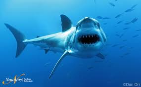 great white sharks of guadalupe island go face to face in great white staring at camera