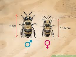 How To Identify Honey Bees 8 Steps With Pictures Wikihow