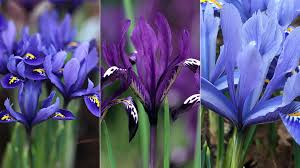 reticulata iris collection