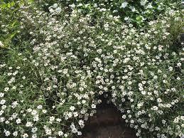 zinnia angustifolia white star zinnia angustifolia white star small white flowers