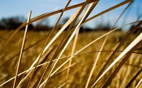 dry grass field background. Summer Dry Grass Field Background