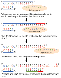 art connections dna replication by openstax page  telomerase has an associated rna that complements the 5 overhang at the end of the