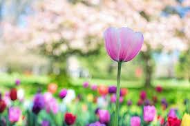 Bildergebnis für Tulpen rosa