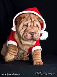 shar pei puppies of exclusive and limited edition qi ming xing shar pei kennel