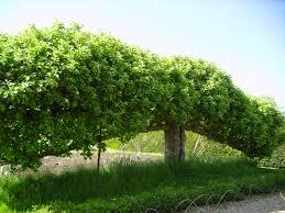 Chart Of Espalier Shapes  Espalier Services Via Atticmag Trees Growing Cordon Fruit Trees