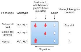hemoglobin electrophoresis