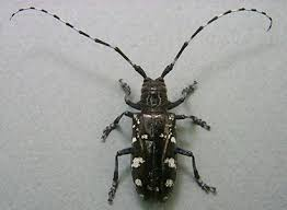 Well Fed Older Asian Longhorned Beetles Fly Farther May Require