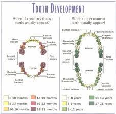 Teeth Growth Chart Kozen Jasonkellyphoto Co