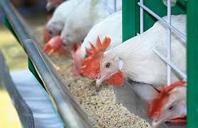 Europe's 2017 compound poultry feed output higher | WATTAgNet
