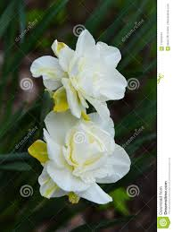 White Paper Flower Bulbs White Daffodils Tinged With Yellow Flower In Garden Stock