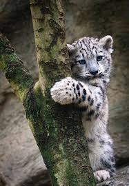 baby white tiger.  Tiger Baby White Tiger Intended White Tiger