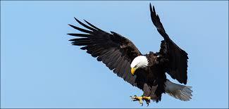 U.S. Fish and Wildlife Service - Bald <b>Eagle</b>