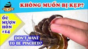 Ốc mượn hồn #14 - Cách cầm ốc để không bị kẹp (Hermit crab #14 - How to  hold hermit crabs) - YouTube