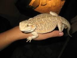 petsmart reptiles for sale. Delighful Petsmart Image For Petsmart Reptiles Sale