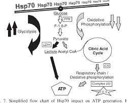 Figure 7 From Heat Shock Protein 70 Hsp70 Inhibits