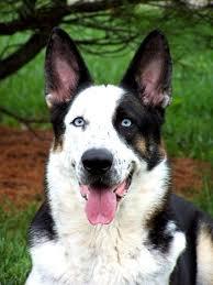 black and white spotted german shepherd. Simple White Black And White Spotted German Shepherd New Developments Happy Dog Heaven