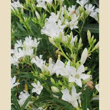 White Oleander - drought tolderant - Nerium oleander 'Dwarf White Sands' -  Boething Treeland Farms | Oleander, White oleander, White flowers
