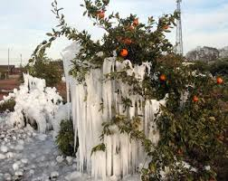 Image result for image ice coated tangerine