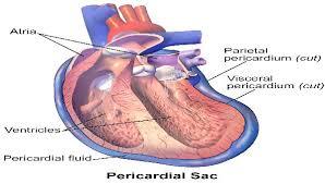 pericardial sac bildergebnis für pericardium pericardium pinterest searching