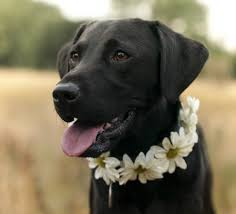 labrador retriever. Perfect Retriever How Much Does The Average Labrador Retriever  Like This Black One Eat  Sleep In