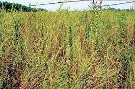 Palmer Amaranth Field Scouting Guide Palmer Amaranth Growing Produce