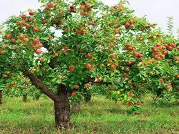 The Apple Tree U2013 Broken BelieversTree Bearing Fruit