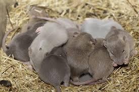 Voortplanting ratten