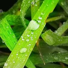 Risultati immagini per goccia di rugiada sul filo d'erba