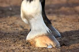 Horse Hoof Anatomy A Guided Tour The Horse