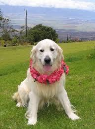 albino golden retriever. Modren Retriever Ilio In Upcountry Maui And Albino Golden Retriever O