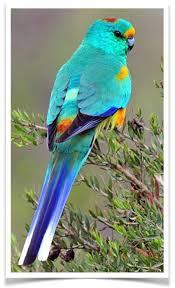 Many Colored Parakeet Mulga Parakeet