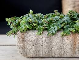 plants that are perfect for coffee tables