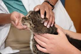 The Dangers Of Tylenol To Cats One Can Kill Your Cat Healthy