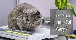 how much should a cat weigh cat world