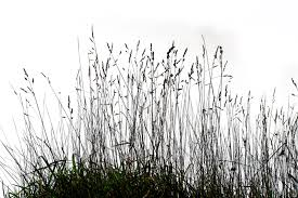 tall grass silhouette. Grass 03 Png By Gd08 Tall Silhouette