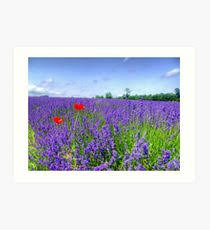 mayfield lavender fields 3 art print on lavender fields wall art with lavender field wall art redbubble