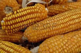 dried corn on the cob dried corn cobs dried corn kernels for sandbox