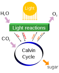 Co2 To O2 Conversion Chart Photosynthesis Wikipedia