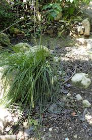 Carex hispida - Wikispecies