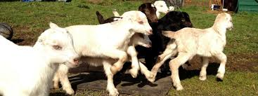 Barnowl Dairy Goats Lamancha Dairy Goats Bred In Washington