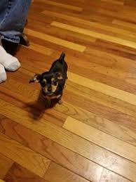 130 chihuahua puppies wilkesboro nc had two chihuahua puppies left a male and a female pas are registered they ve had their first shots any