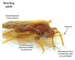 Bed bug sizes Nymph Bed Bug Size Bed Bugs Size Bed Bug Castings Bed Bug Info Bed Bugs Size And Bed Bug Size Green Bean Buddy Bed Bug Size Bed Bug Actual Size Pictures 20williamscloseinfo