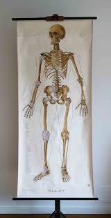 Human Skeleton Wall Chart Vintage German School Wall Pull Down Chart Map Of The Human