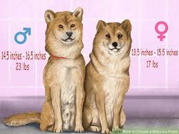 Shiba Inu Puppies Information Goldenacresdogs Com